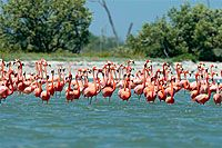Flamingoes on Isla Holbox