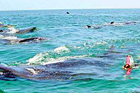 Whale Sharks at Isla Holbox